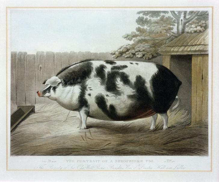 Фото №1 - Почему в XIX веке фермеры заказывали парадные портреты своих толстых коров, свиней и овец