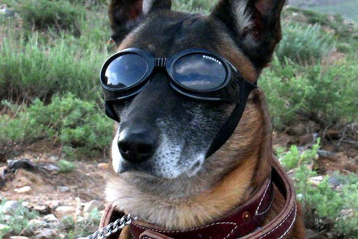 Фото №1 - Австрийских служебных собак надрессировали определять больных COVID-19 по запаху