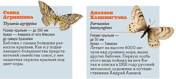 Фото №10 - Жизнь с размахом: энциклопедия бабочек