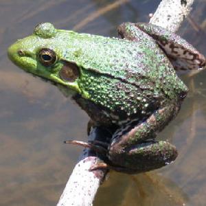 Фото №1 - В Британии обнаружены лягушки-мутанты