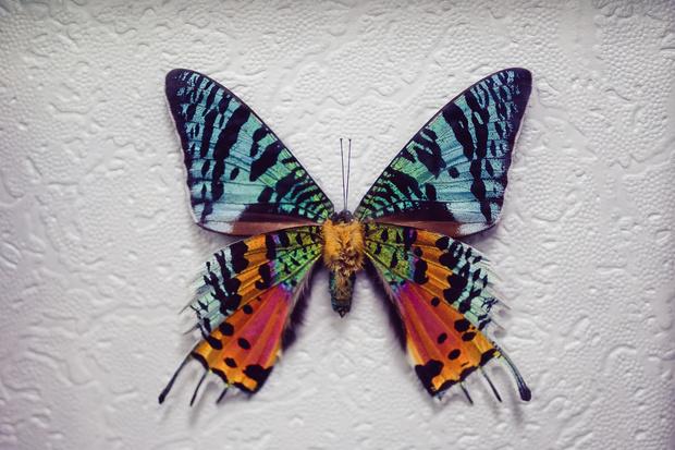Фото №8 - 10 бабочек, крылья которых похожи на полотна импрессионистов