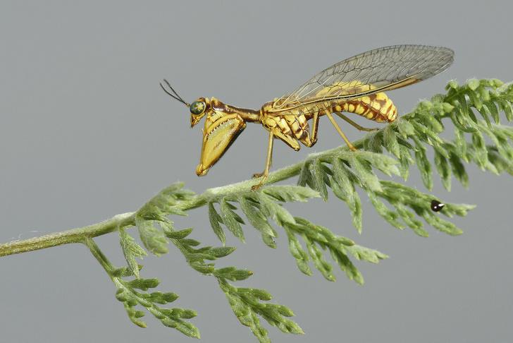 Фото №1 - Двойник богомола: как выглядит и живет мантиспа — одно из самых изощренных насекомых-паразитов