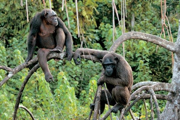 Фото №4 - Конкуати-Дули — территория шимпанзе