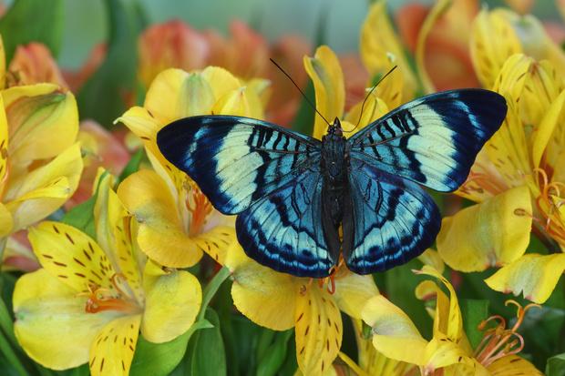 Фото №5 - 10 бабочек, крылья которых похожи на полотна импрессионистов