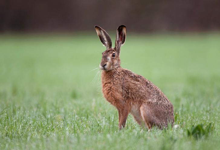 Фото №1 - Зачем зайцу большие уши?