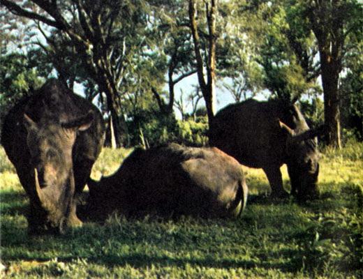 Фото №1 - «Спасите носорогов!»