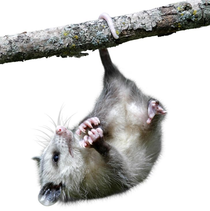 Фото №4 - Только ценный мех: научный взгляд на волосяной покров разных зверей