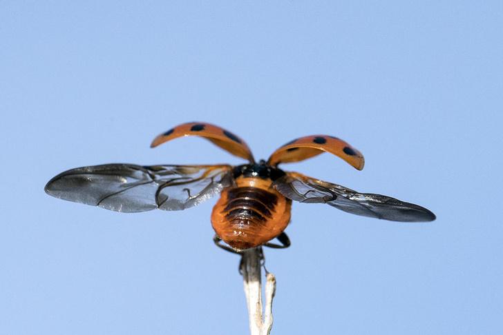 Фото №1 - Изучен принцип складывания крыльев у божьих коровок