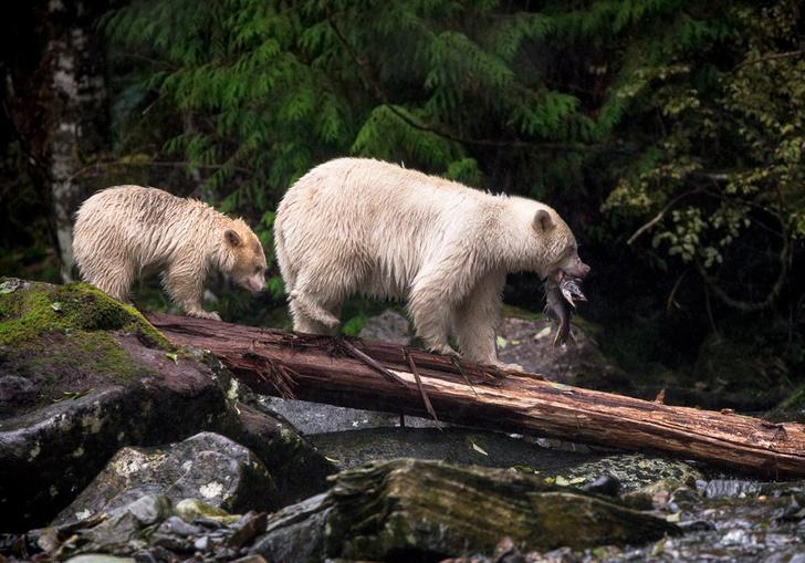 Фото №1 - Медведь-призрак