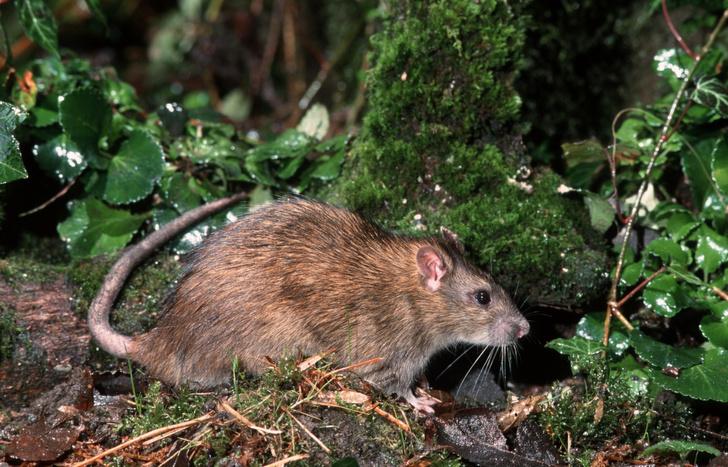 Фото №1 - В Гонконге зарегистрированы первые случаи заражения человека крысиным гепатитом