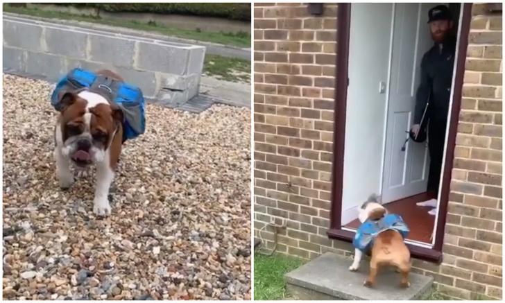 Фото №1 - Бульдог Шелдон доставляет соседям печенье, чтобы не чувствовать себя одиноким (видео)