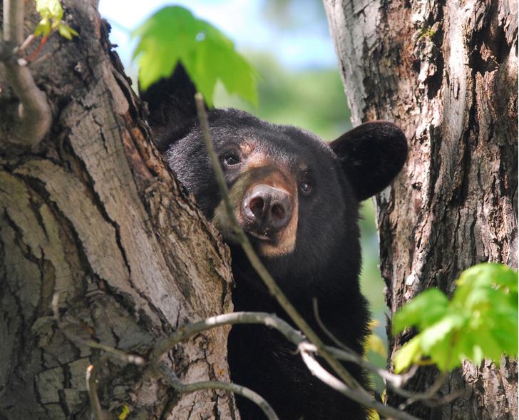 Фото №1 - Медведи в США стали жертвой загадочно болезни