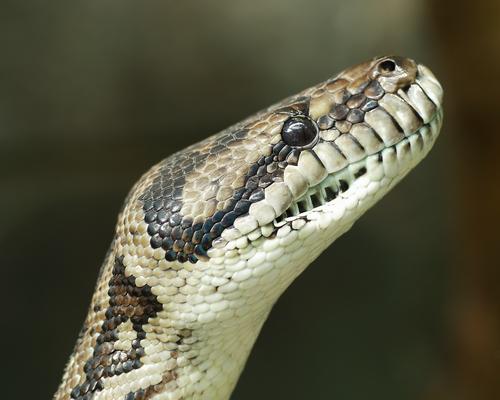 shutterstockВидя, как заклинатели змей завораживают их игрой на дудочке, невольно думаешь, что они очень музыкальны, а значит, обладают тонким слухом. Однако это не так. Змеи практически глухи. Они не слышат не только звуков, производимых их потенциальными жертвами, но и тех, что издают сами. Шипение, свойственное всем змеям, и даже треск гремучей змеи предназначены прежде всего для предупреждения.