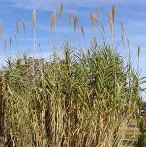 Фото №1 - Гонка за биотопливом погубит природу