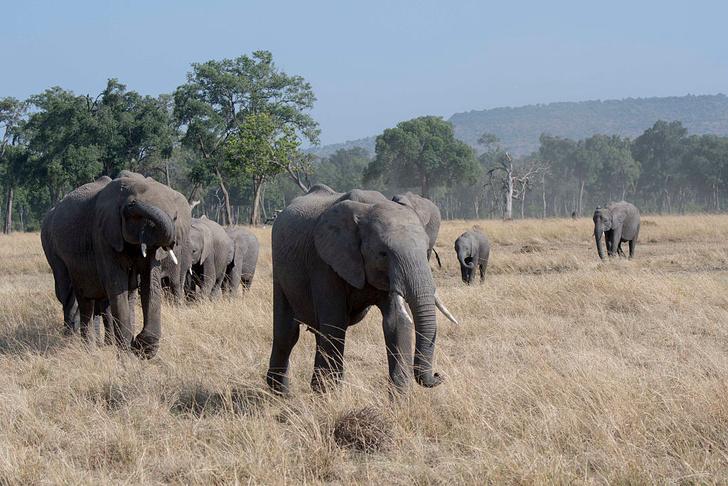 Фото №1 - Слоны оказались лучшими «курьерами» для семян растений