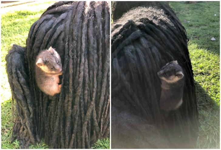 Фото №1 - Хозяйка собак обнаружила у них в шерсти двух малышей опоссумов