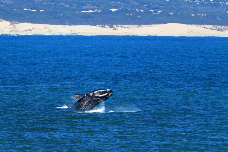 Фото №1 - Северные гладкие киты оказались на грани исчезновения