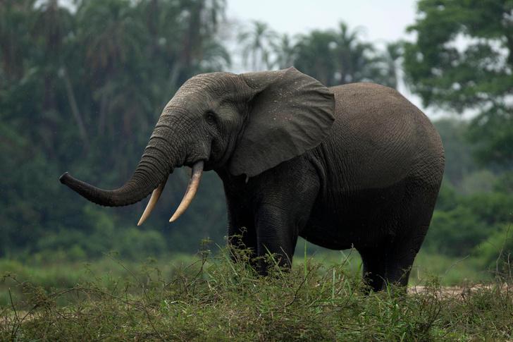 Фото №1 - Берег Слоновой Кости может остаться без слонов