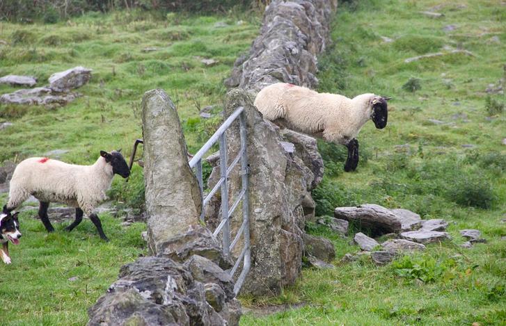 Фото №1 - Почему японец, в отличие от европейца, не сможет заснуть, считая овец