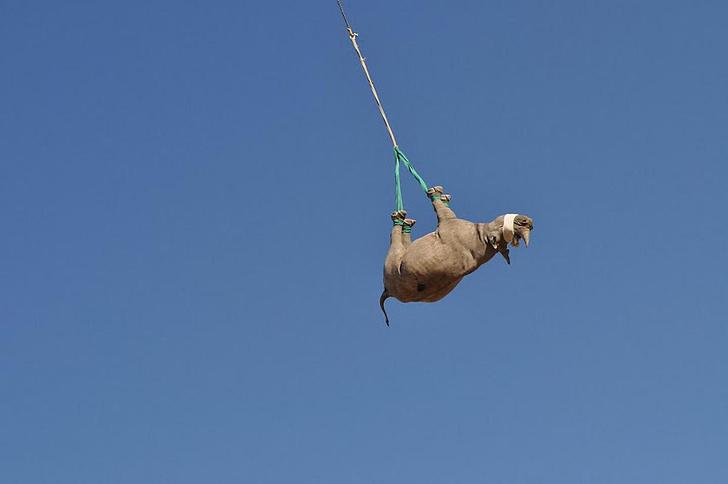 Фото №1 - Ох, нелегкая это работа: зачем и как в Намибии транспортируют носорогов