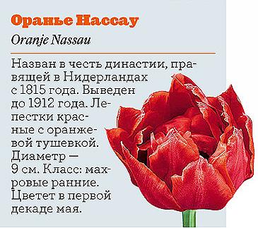 Фото №3 - Самые популярные сорта тюльпанов