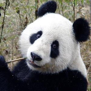 Фото №1 - Панда не выжила на свободе