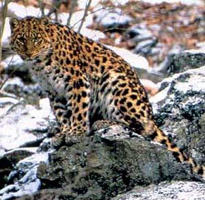 Фото №1 - Лиственницы для леопарда
