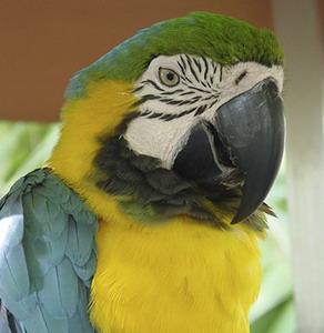 Фото №1 - Попугай против грабителей