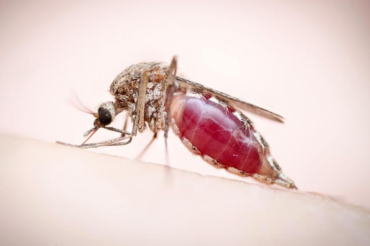 Фото №1 - Комары могут переноситься ветром на большие расстояния