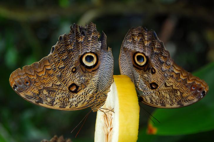 Фото №1 - «Глаза» на крыльях бабочек защищают их от хищных птиц