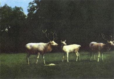 Фото №5 - Белые олени на зеленом лугу