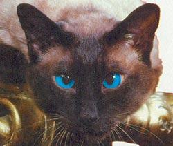 Фото №9 - В Сиаме мы не нашли сиамских кошек