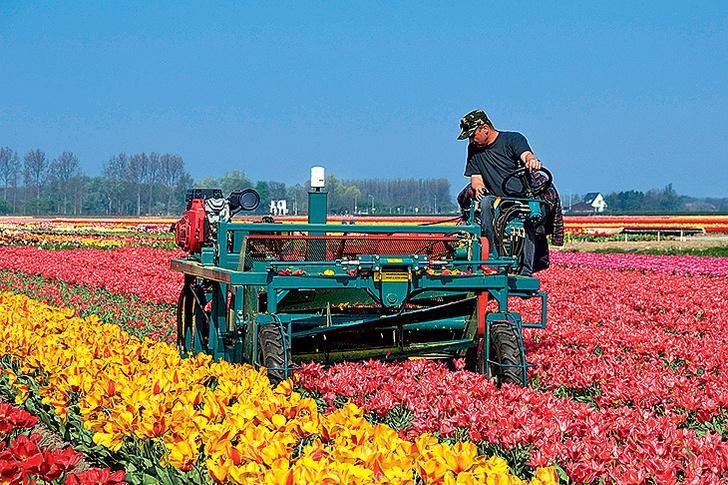 Фото №7 - Как тюльпаны стали национальным достоянием Нидерландов
