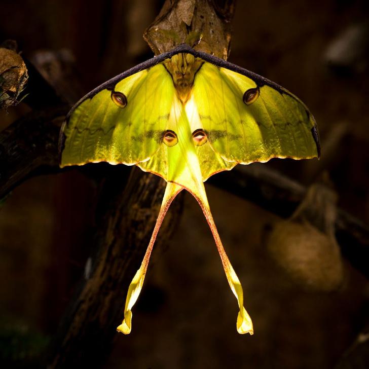 Фото №1 - Зачем бабочкам длинные отростки на крыльях