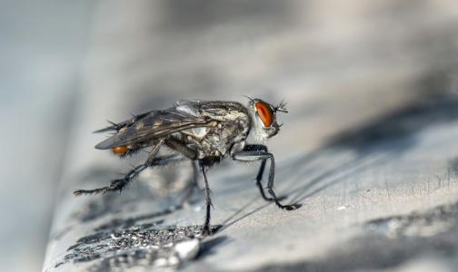 Фото №1 - Роспотребнадзор рассказал, могут ли мухи быть переносчиками коронавируса