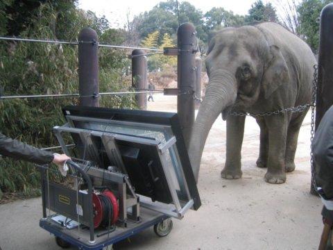 Фото №1 - Азиатские слоны обладают способностью к счету