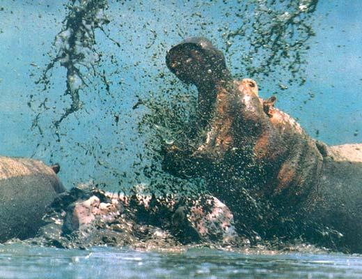 Фото №1 - Охота на гиппопотама