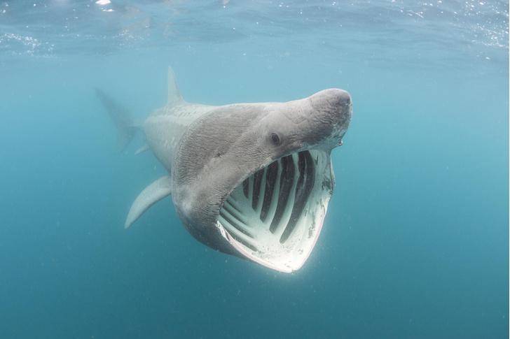 Фото №1 - Ученые измерили, с какой скоростью гигантская акула выпрыгивает из воды
