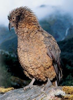 Фото №1 - Кто боится попугая кеа?