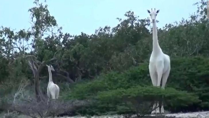 Фото №1 - В Кении браконьеры убили двух редчайших белых жирафов
