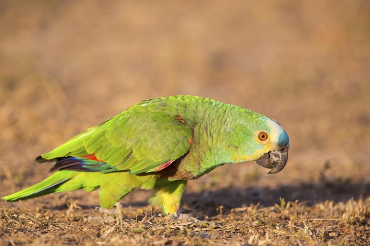 Фото №1 - Найдено объяснение долголетию попугаев