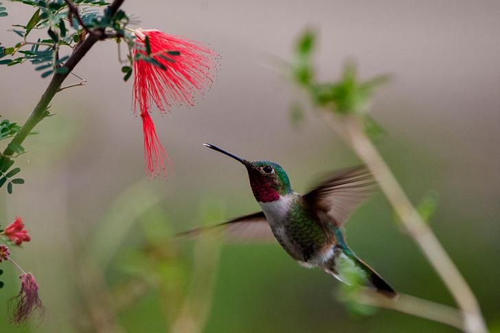 Фото №1 - Самцы колибри научились «петь» хвостом и обманывать самок