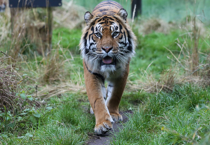 Фото №1 - В Индии настойчивый тигр прошел рекордные 800 миль в поисках самки