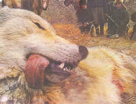 Фото №1 - Волчья кровь