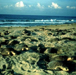 Фото №1 - В Индии гибнут редкие черепахи