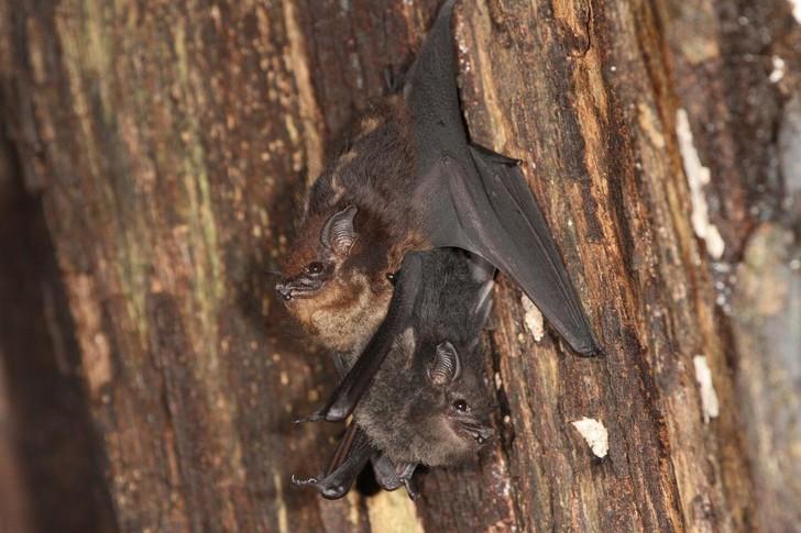 Фото №1 - Летучие мыши используют детский лепет для общения с потомством
