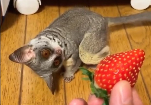Фото №1 - Смешной экзотический зверек в первый раз видит клубничку (видео)