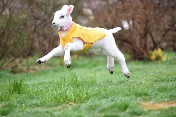 Фото №1 - Ягненок, который считает себя собакой