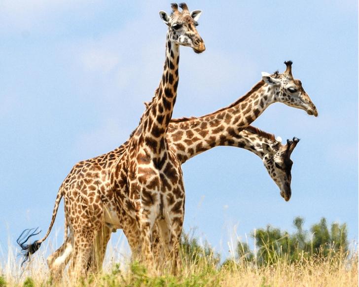 Фото №1 - «Трехглавый» жираф