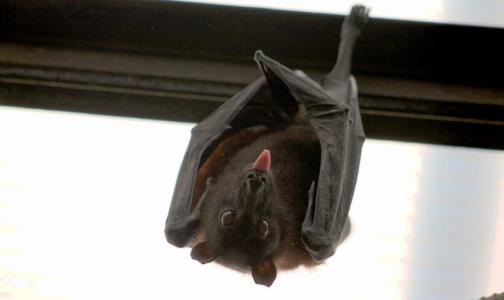 Фото №1 - Специалисты Роспотребнадзора протестируют местных летучих мышей на коронавирусы